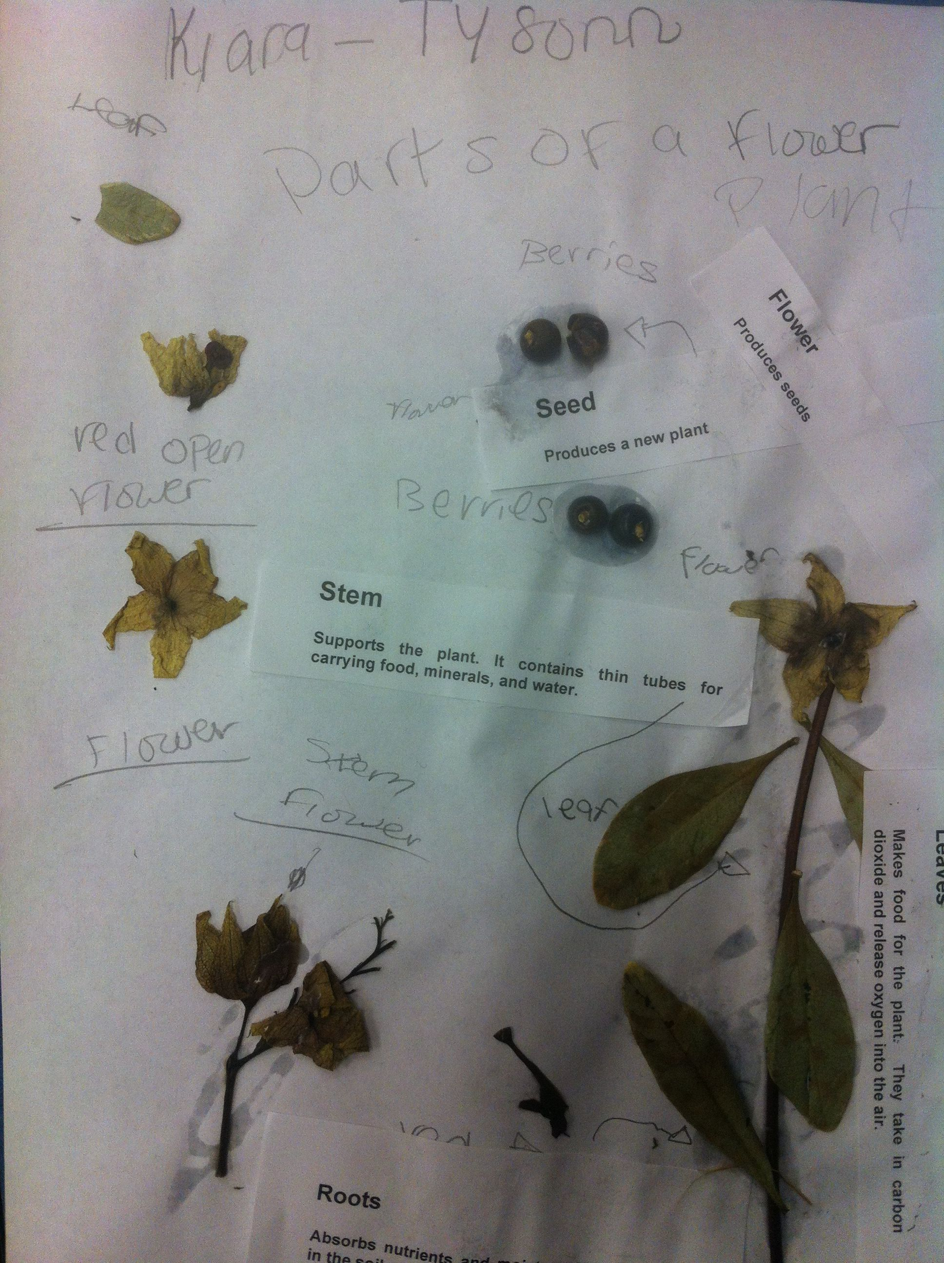 The parts of a plant and their functions Parts of a plant