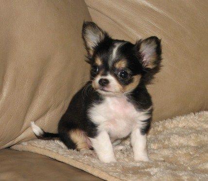 Tiffany X Will Longcoat Black And Tan Female Chihuahua Puppy