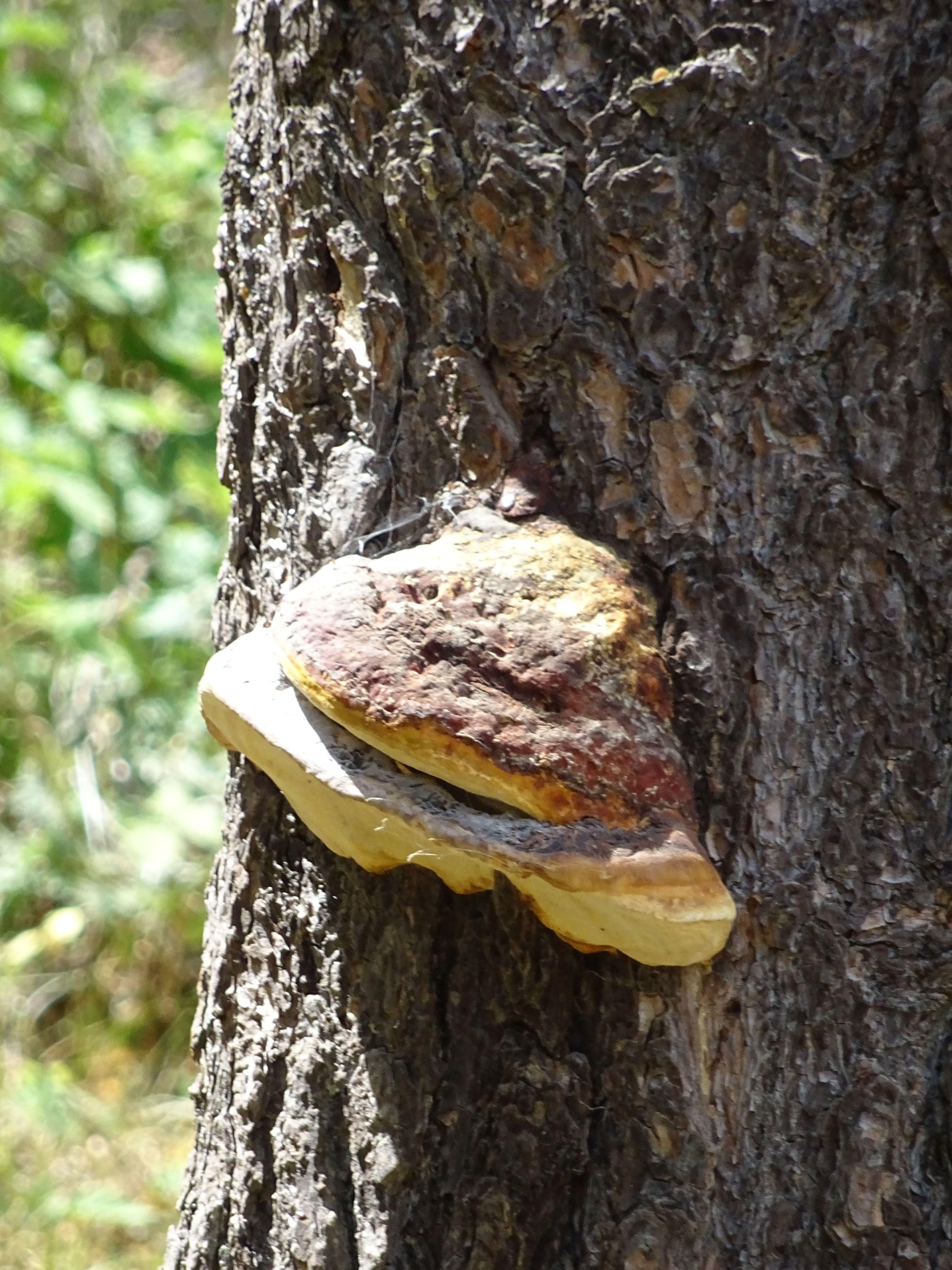 Hongo yesquero, es un hongo que crece en la corteza de los árboles, tiene forma de casco de caballo y se usaba para encender fuegos