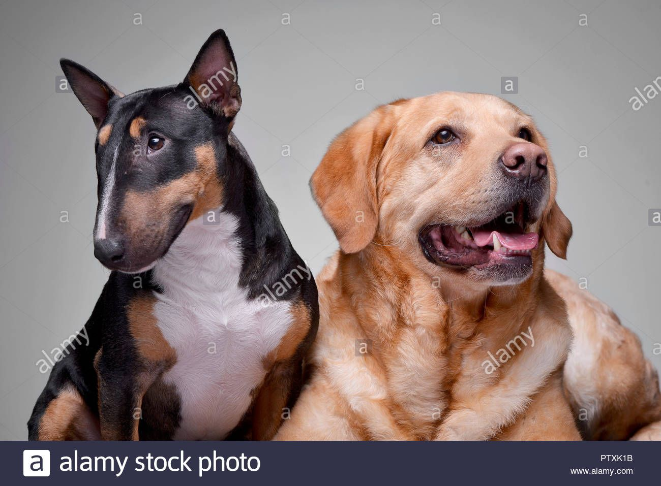 Studio Geschossen Von Einem Entzuckenden Bull Terrier Und Golden Retriever Welpen 21 26 Monate 1 Hunde In Der In 2020 Terrier Mix Terrier Mix Breeds Golden Retriever