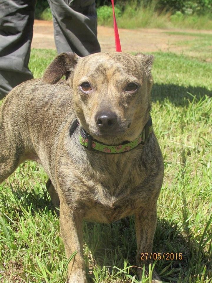 Fancy is a 3 year old female chiweenie looking for her ...