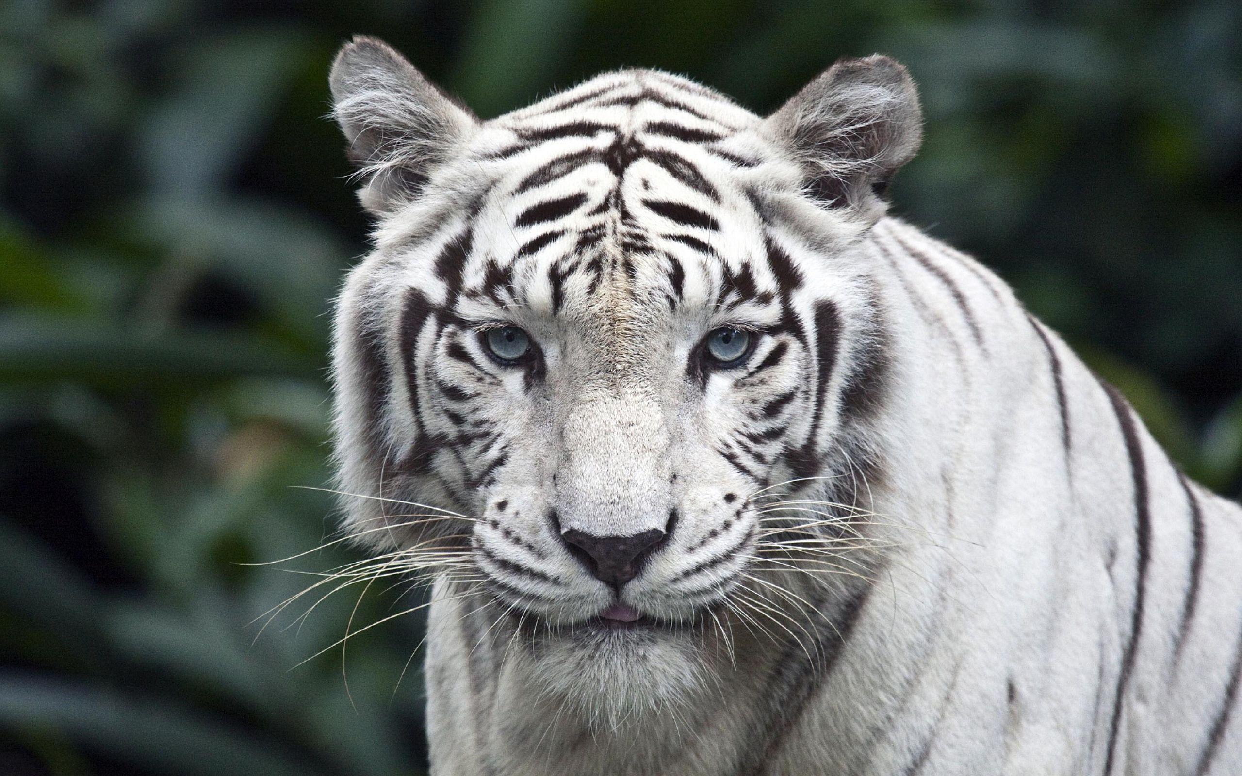 Hasil gambar untuk white tiger