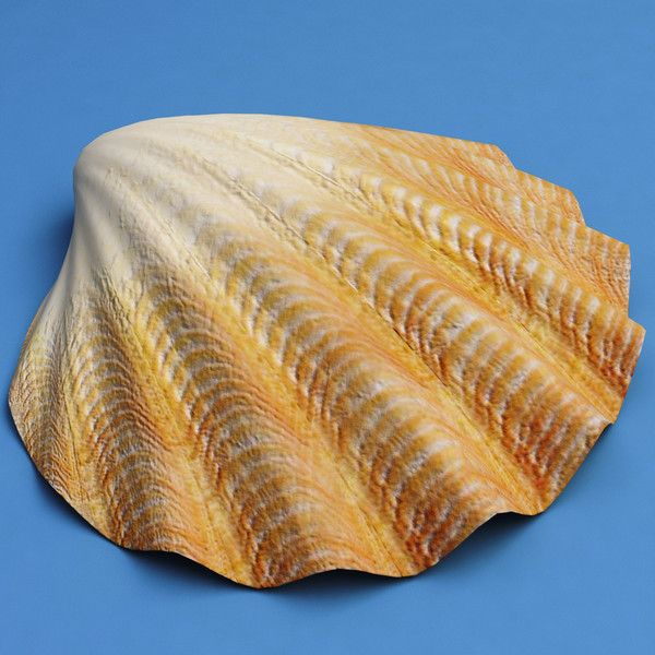 Seashells Heres The Symbolism Of Different Types Of Seashells For