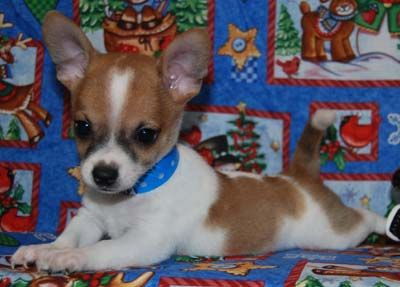 Jack Russell Chihuahua Mix Omg This Is So Adorable Cute