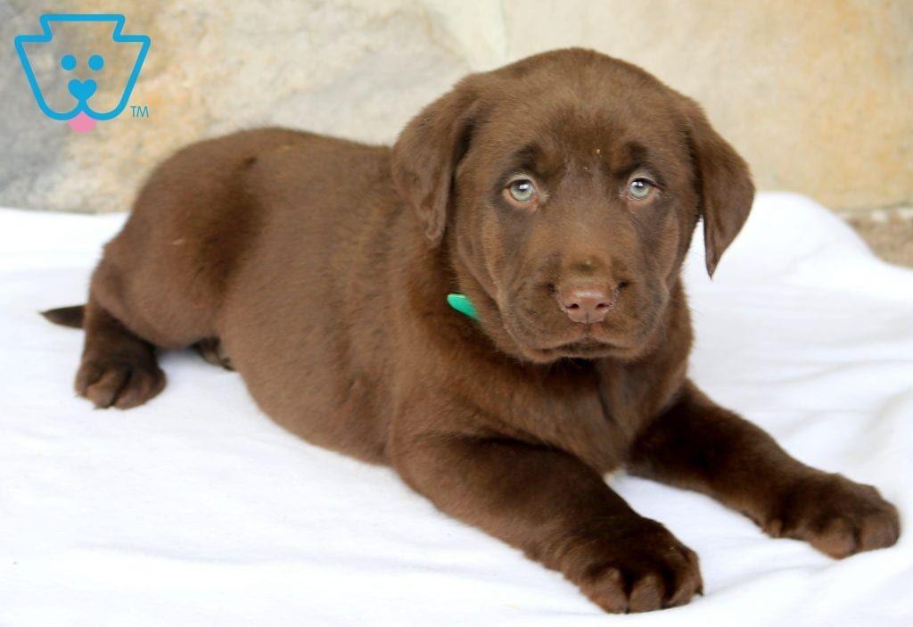 Blake Labrador Retriever Labrador Puppies