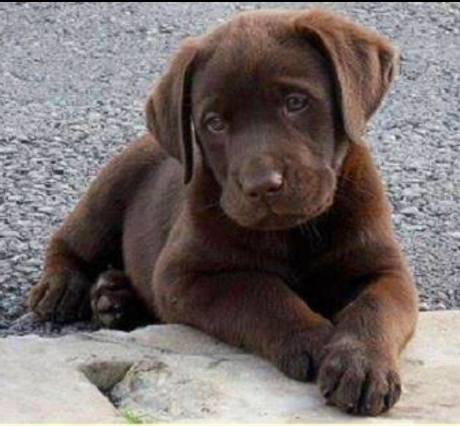 Chocolate Lab I Miss Mine Puppies Lab Puppies Chocolate Lab