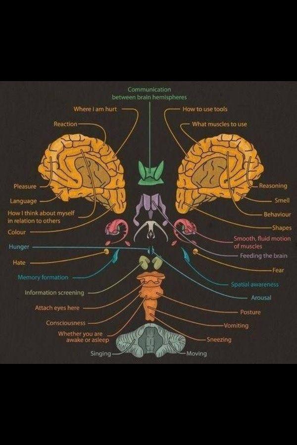 Pin By Pam Hyers On Neurology Pinterest Brain Neuroscience And
