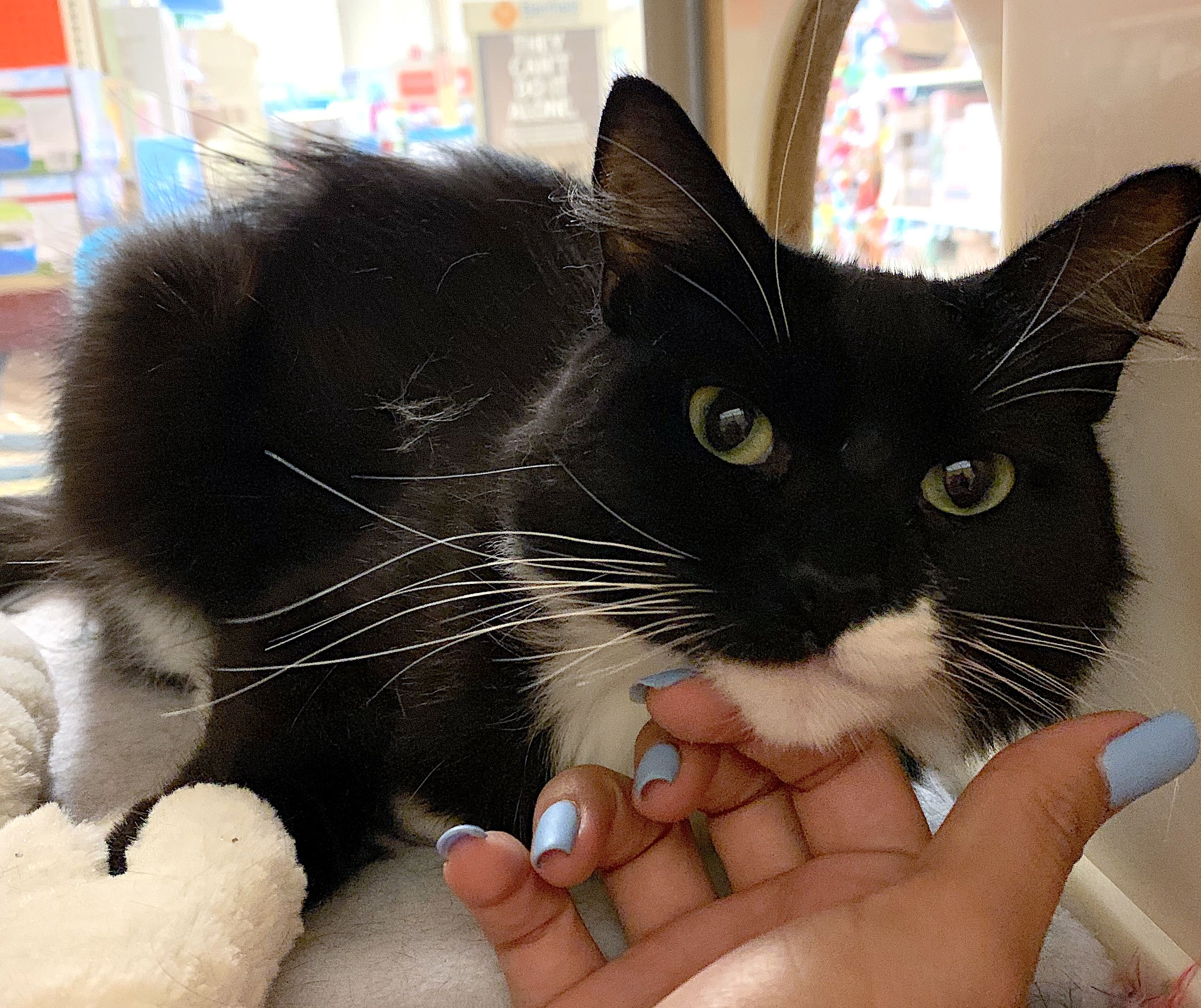 Sadie Is Is Sweet Affectionate And Always Purrs When Pet Adopt Her At Brea Ca Petsmart Cats Kittens Feral Cats Kitty