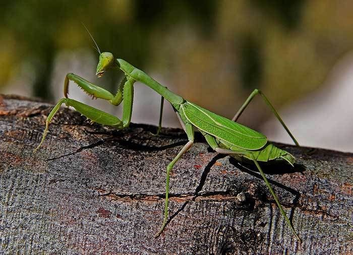 1 Real Live Praying Mantis Egg Case Ootheca Natural Pest Control