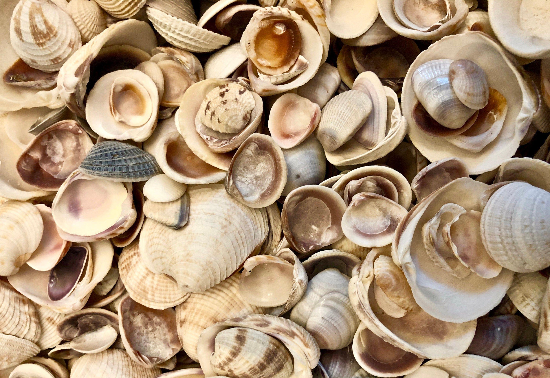 """Venetian Gold Tone Craft Seashells ~ 1000 pcs. 1//4/"""" Shells per 1//2 lb."""