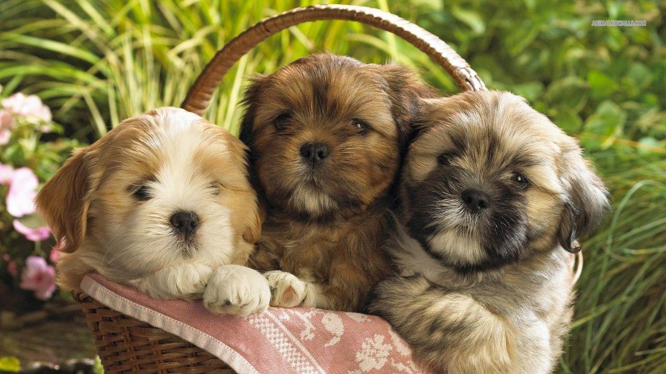 Shih Tzu Puppies Shih Tzu Puppies Wallpaper 1366x768 Teddy Bear Puppies Cute Dogs Puppies