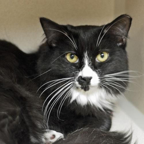 Adopt Indigo On Petfinder Lucky Cat White Cat Tuxedo Cat