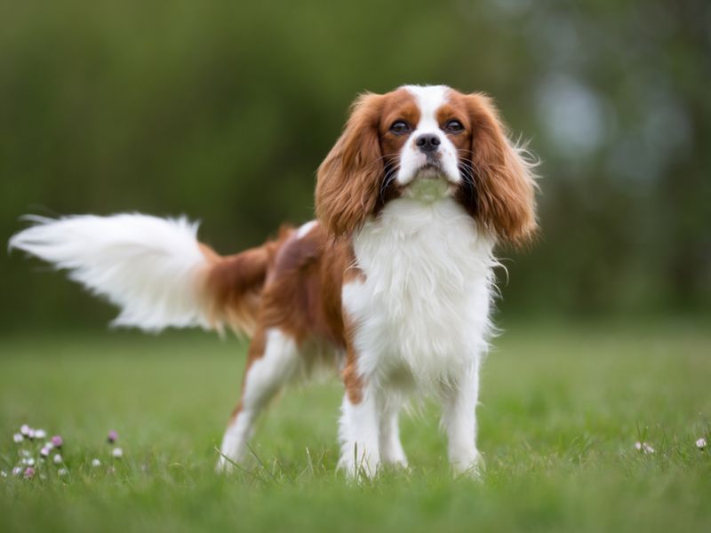 Chien cavalier king charlesg 800600 cavalier king charles a purebred cavalier king charles spaniel dog without leash outdoors altavistaventures Images