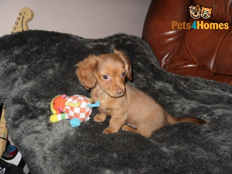 Miniature Dachshund X Chihuahua With Images Miniature