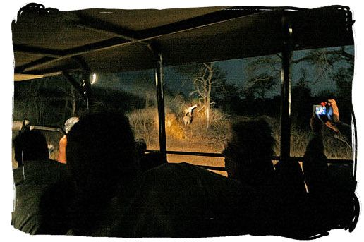Guided game drive at night.  Next to daylight game drives, game drives at night will enable you to witness the nocturnal activities of Kruger National Park's wildlife.