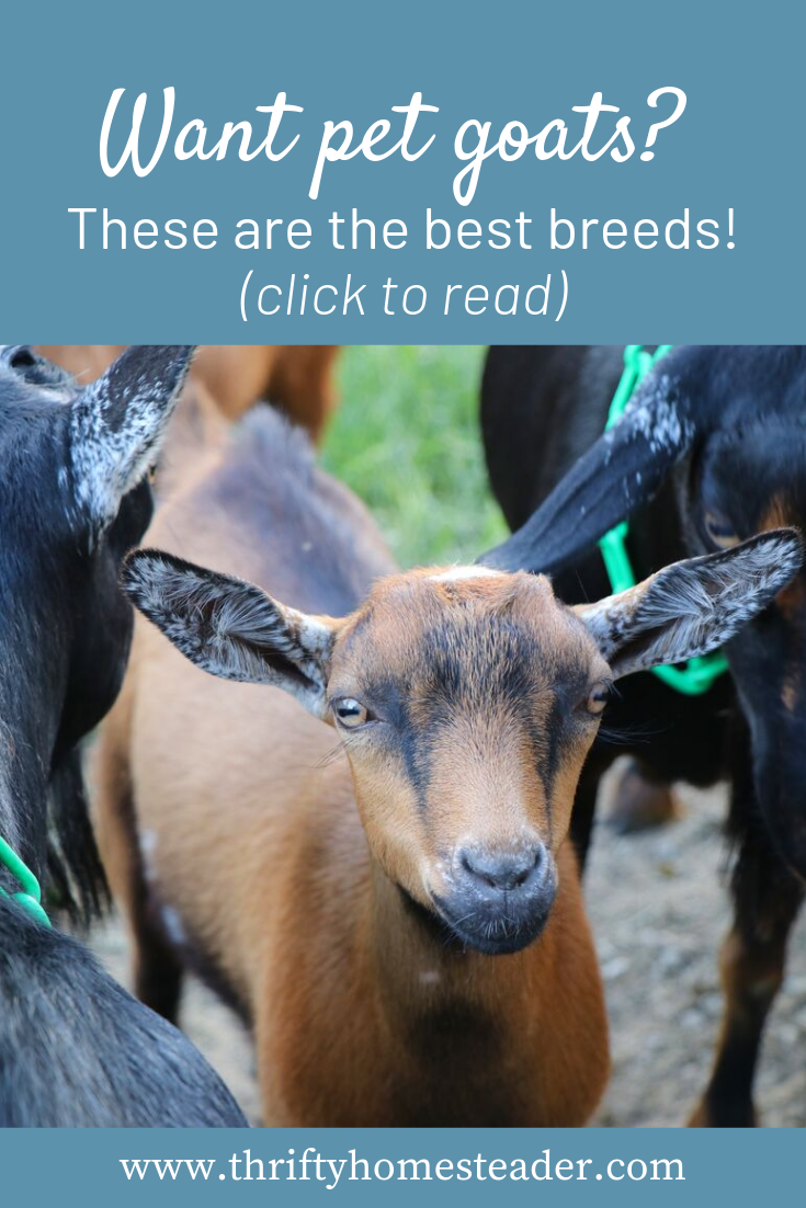 Best Pet Goat Breeds Male Vs Female Goats Bottle Fed Vs Dam Raised Goats Everything You Need To Know Before Getting Pet Goats And How To Pet Goat Goats Pets