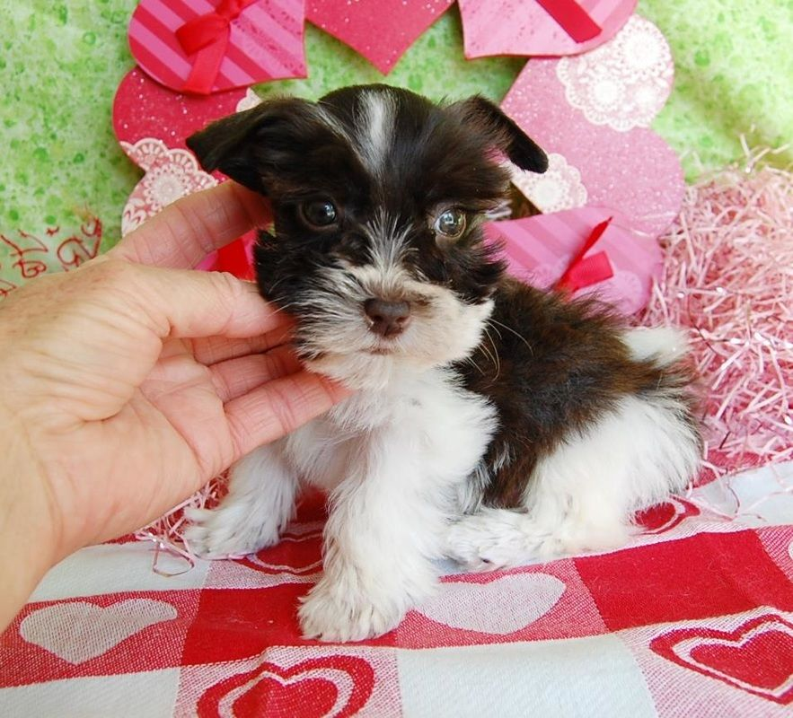 Miniature Toy Teacup Schnauzers for Sale | Toy Teacup Miniature Schnauzer Puppies #miniaturetoys