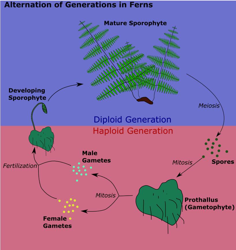 Alternation Of Generations Haploid Gametophyte Diploid Sporophyte Occurs After Fertilization