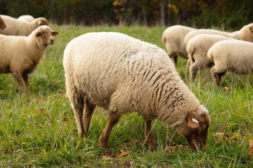 Grass-Fed Lamb | Red Fern Farm | Heritage Farm Animals