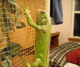 Basic Care Instructions for the Green Iguana