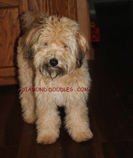 Whoodle Puppies Available Whoodle Puppy Whoodle Puppies For Sale
