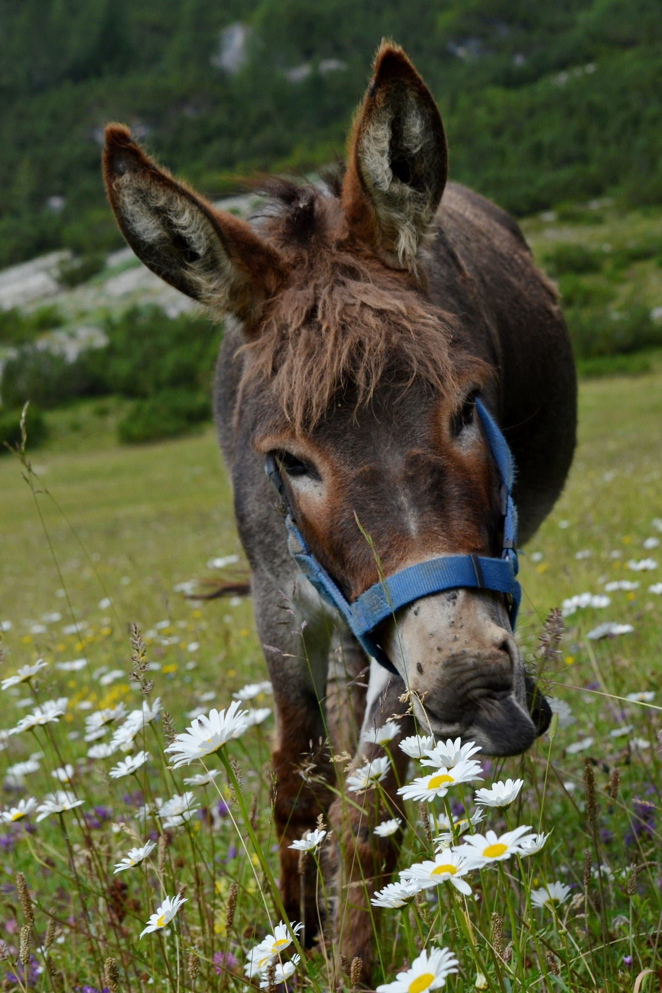 Superb Donkey And Daisies   By Gabriele Sala