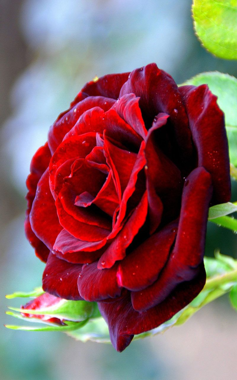 Flowers wallpapers red rose free computer desktop hd - Red flower desktop wallpaper ...