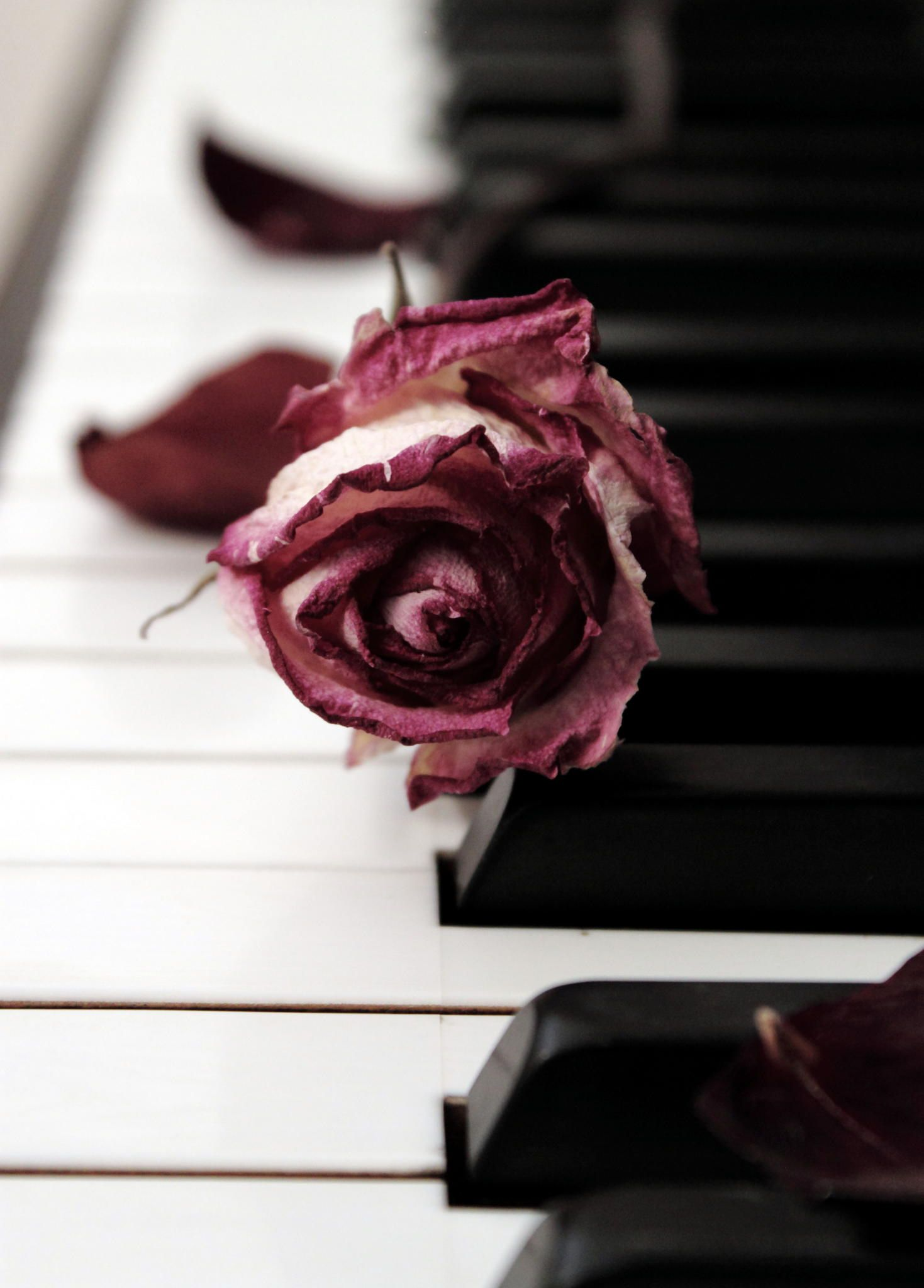 A slightly withered Marsala rose rests softly upon piano keys. All of a sudden I feel like singing a love song... #LGLimitlessDesign #Contest