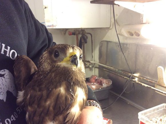 got lost in the city of Kotka, a hungry hawk chick, get to safety. It eats the stomach full of honey and is very well.