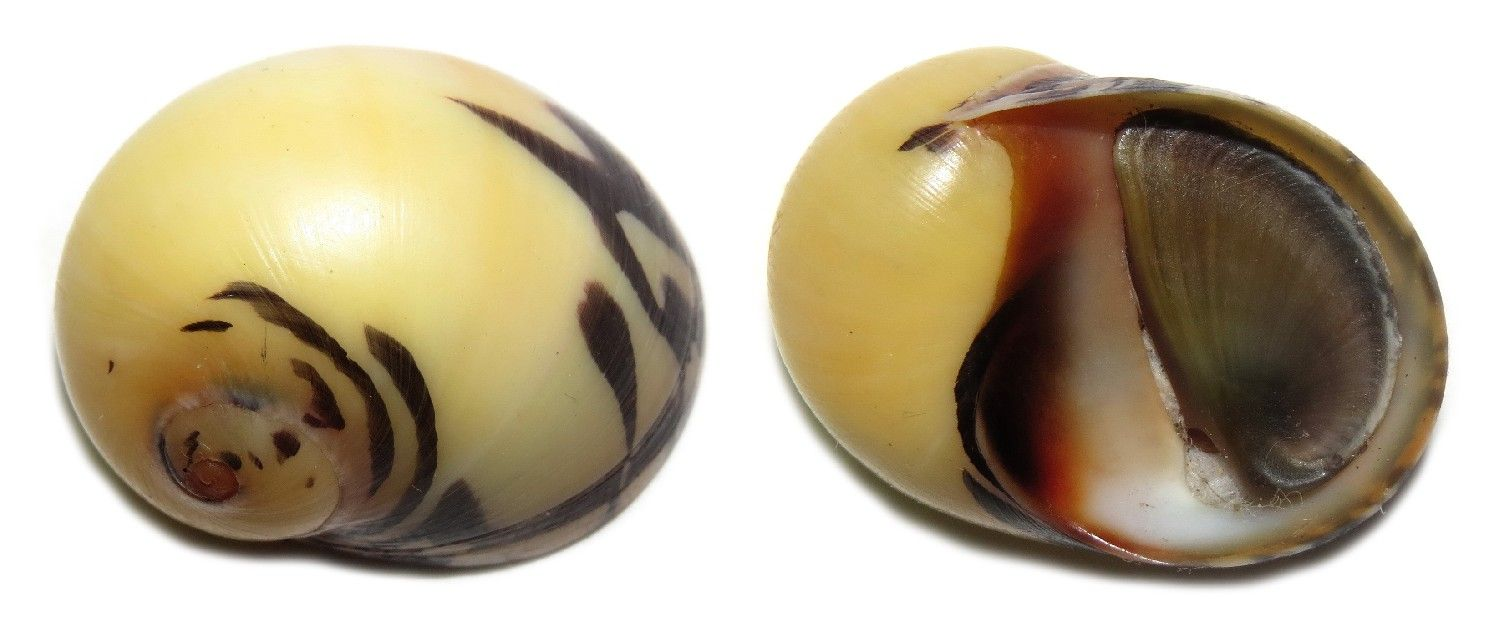 Nerite dubia in yellow