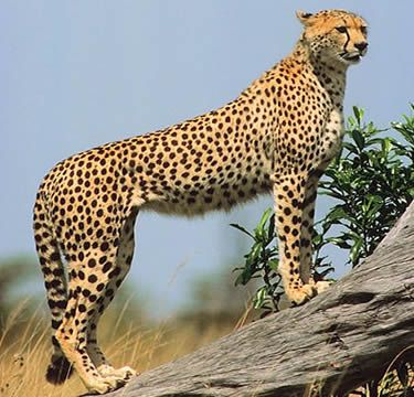 Cheetah Key Facts Information Pictures the fastest cat Cats