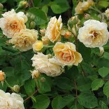 rose buff beauty - Google Search