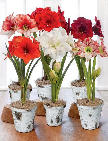 amaryllis 1800flowers