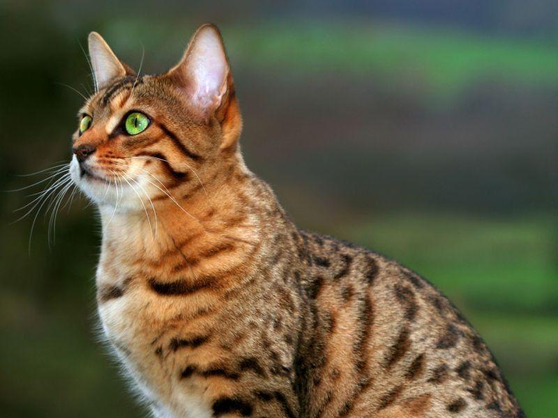Extravagante Bengal: Haustier im Wildkatzen-Look   Katzen