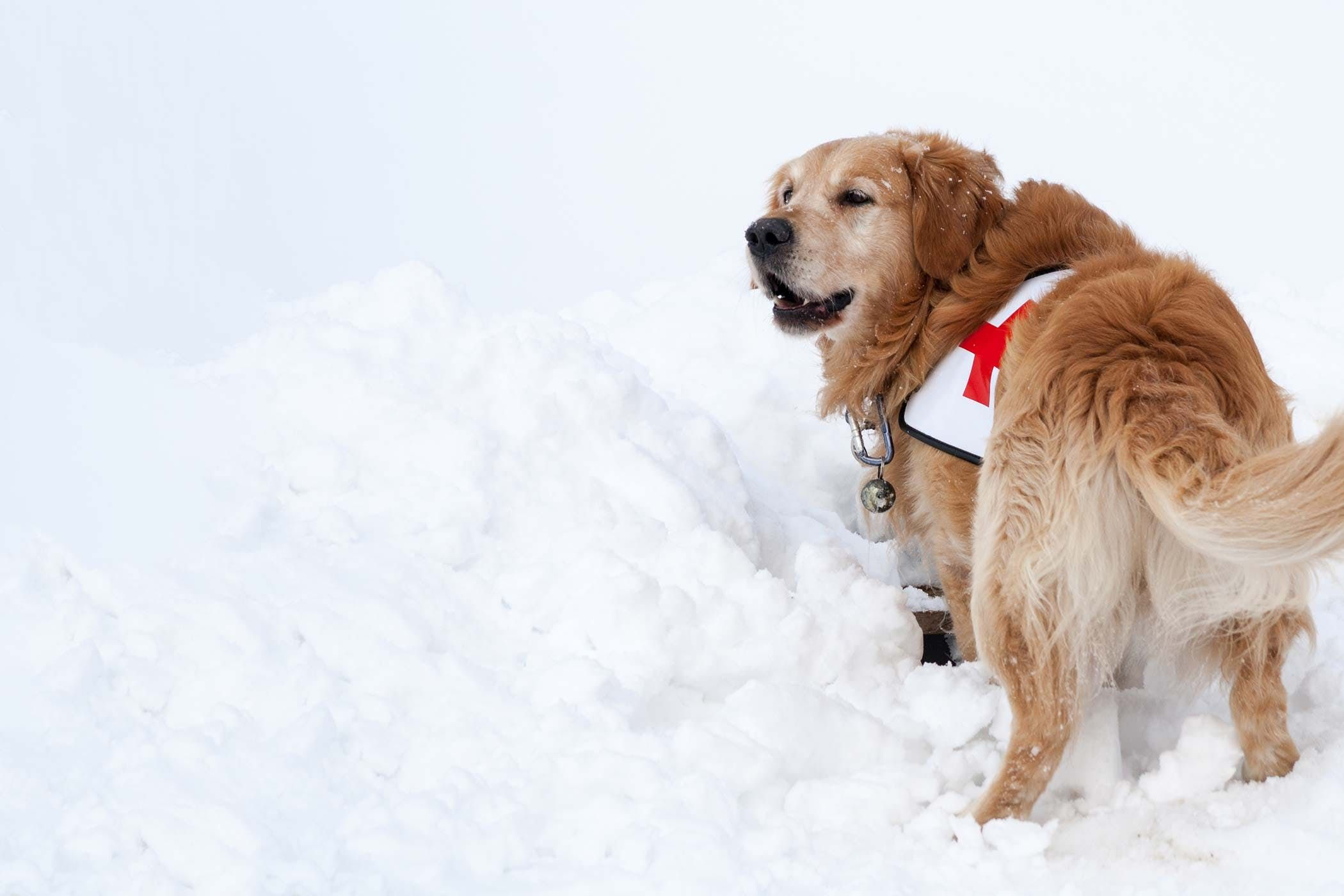 How To Train Your Dog To Search And Rescue Dog Training