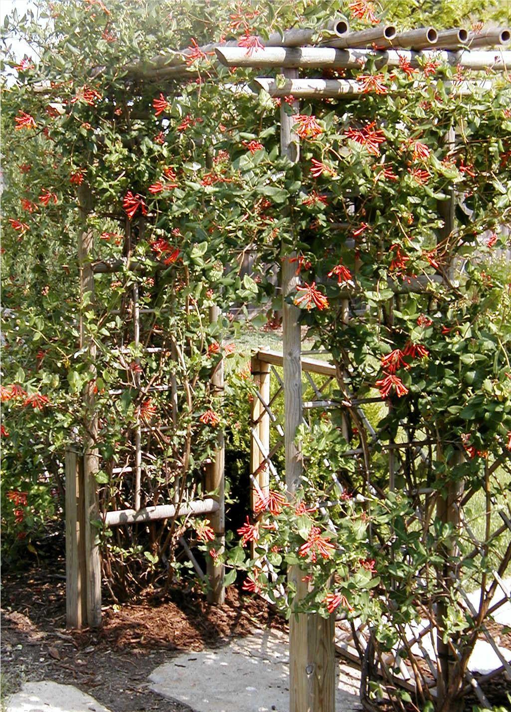 Lonicera \'Blanche Sandman\' - Gorgeous honeysuckle - Chicago garden ...