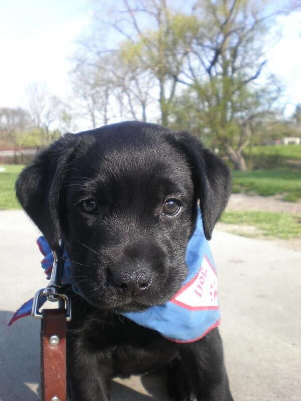 This Little Guide Dog In Training Is Going To Have A Very Big Job