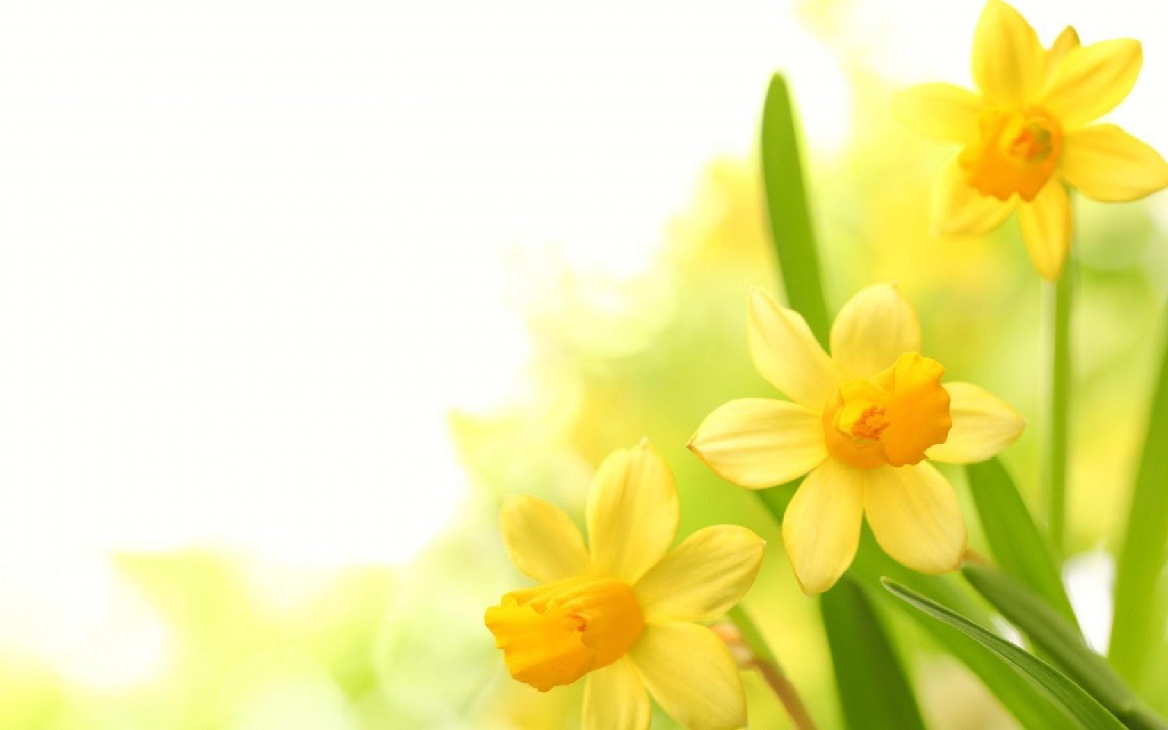Good Yellow Flower Wallpaper Rose Flower Wallpaper Daffodil Flower Daffodils