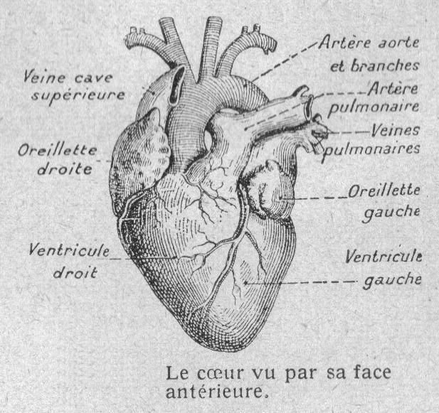 Dessins anatomie physiologie image 105 composition - Dessin coeur humain ...