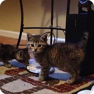 Manchester Ct Domestic Shorthair Meet Cindi A Kitten For Adoption Http Www Adoptapet Com Pet 11341276 Manchester Conn Kitten Adoption Pet Adoption Pets