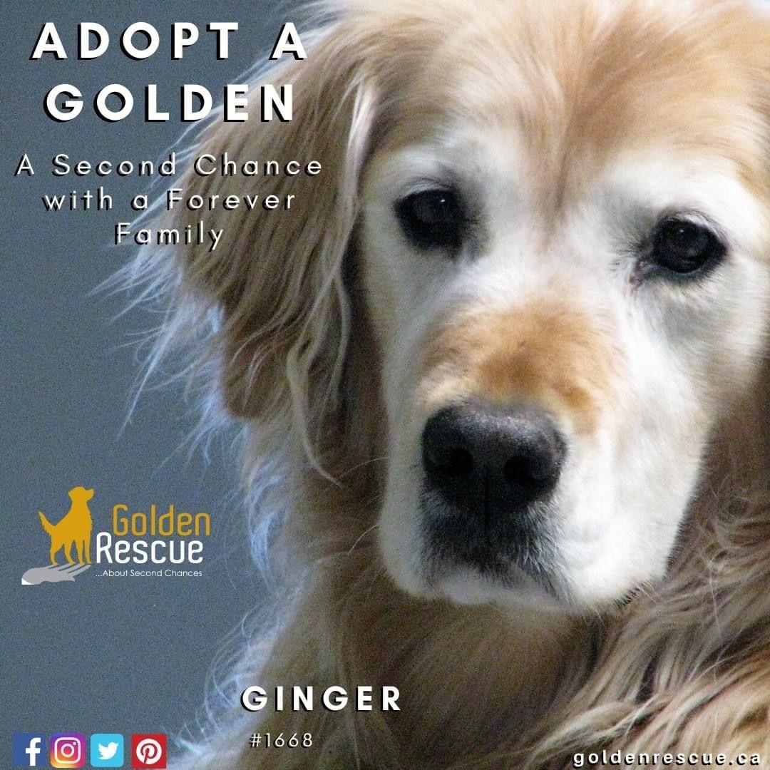 Pin On Adoptable Goldens