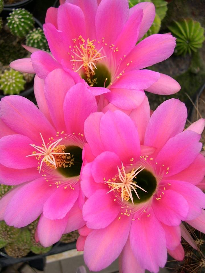 Pin On Cactus