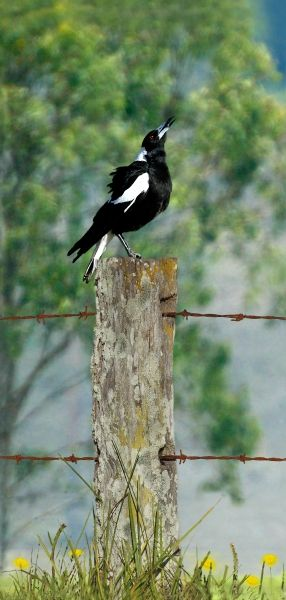 australian magpie singing in the early morning