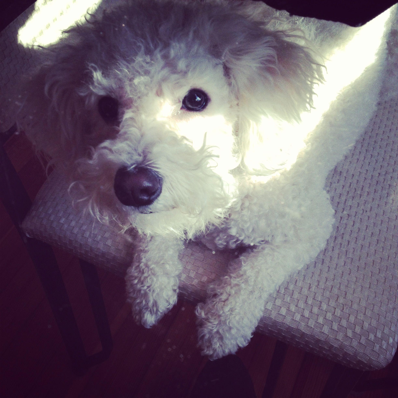 Havashon Puppies Animals Pets