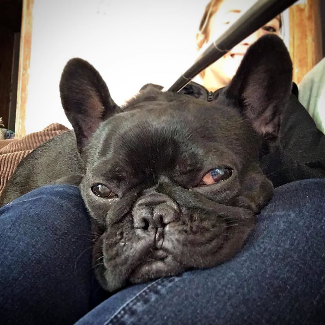 When You Re Watching Tv And Someone Changed Channels Annoyed Dog Frenchbulldog Frenchies Puppy Cute Batpig Sydneyf French Bulldog Frenchie Bulldog Pics