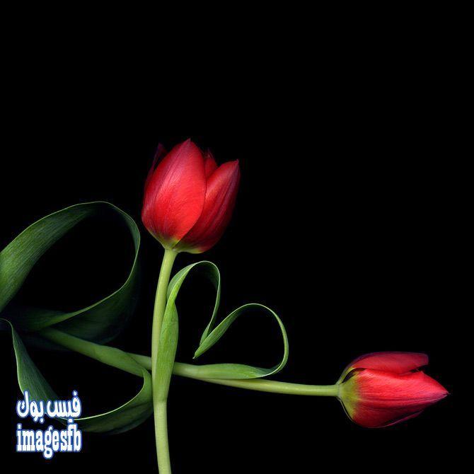 خلفيات ورد للكمبيوتر خلفيات سوداء ورود التيوليب لاب توب 2015 Roses Wallpapers Www Imagesfb Com670 670bus Imagenes De Tulipanes Flores Tulipanes Tulipanes