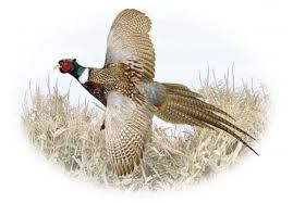 Pheasant by Michael Sieve Flying Colors