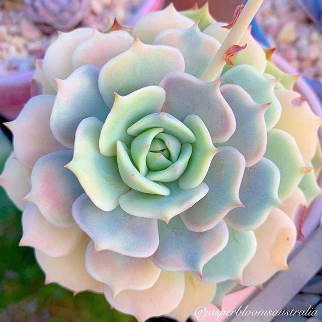 succulent how to plant|Rose succulents |succulents pots|succulents planting| succulents arrangements #succulents