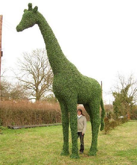 Amazing Topiary: Giraffe Topiary: Will One Day Be In My Yard For My Giraffe