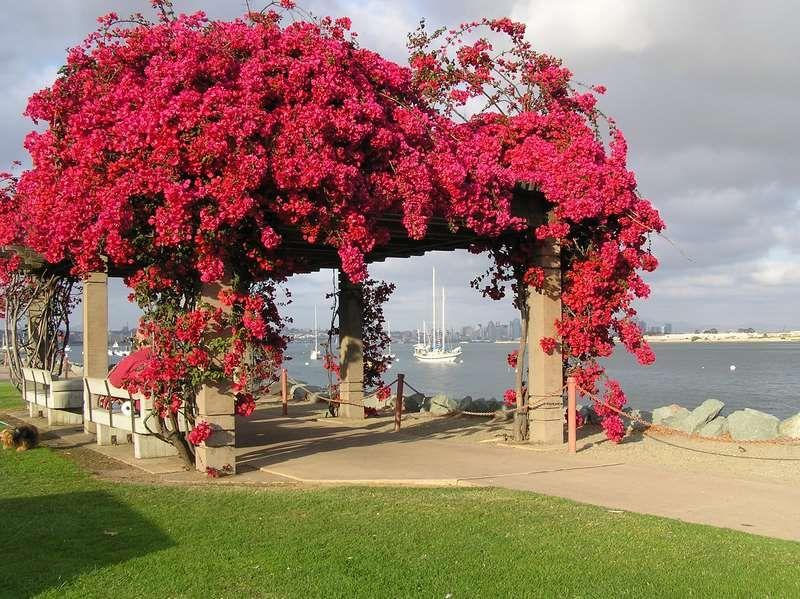 Utilizando plantas trepadoras con flores para cubrir y decorar una p rgola sin dud flores - Plantas trepadoras para pergolas ...